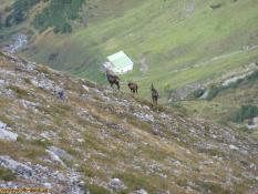 Drei Gemsen über der Mason Alpe